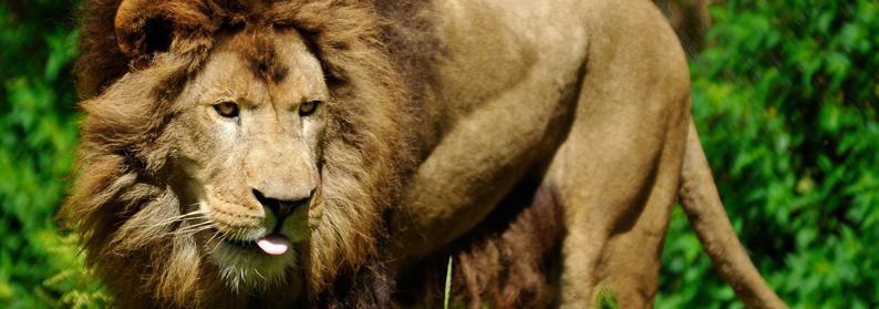 nero_lion